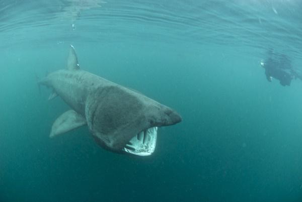 basking shark by Rick Aryton