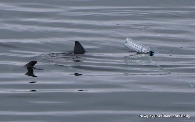 Blue-shark-surfaces-at-chum-trail-next-to-atlantic-diver