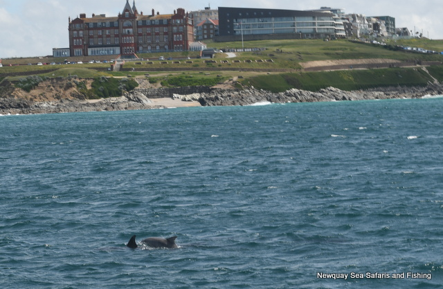 Dolphins-feeding-outside-The-Headland-Hotel