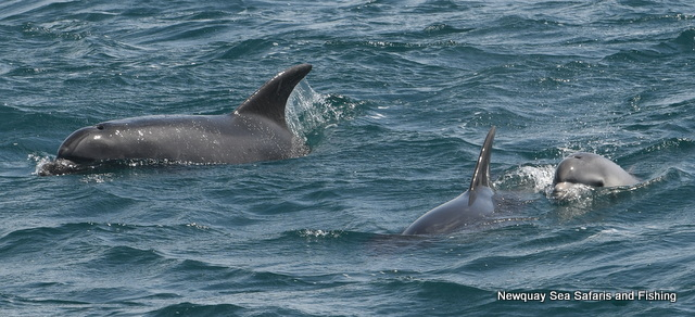 Bottlenose Dolphins with tiny Calf in Fistral Bay