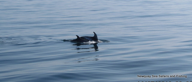 Risso's-dolphins-feeding-in-pairs
