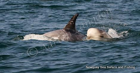 Risso's Dolphins by Adrian Langdon seen off North Cornwall
